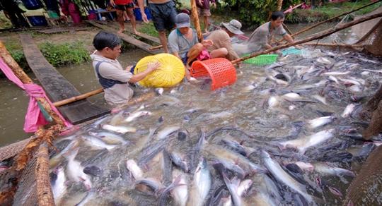Trà Ôn: giá cá tra tiếp tục tăng mạnh, người nuôi phấn khởi