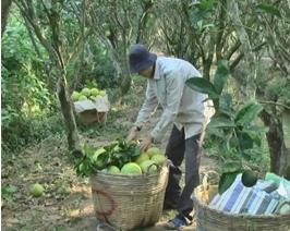 Nhà vườn TX Bình Minh phấn khởi vì giá Bưởi 5 roi tăng cao