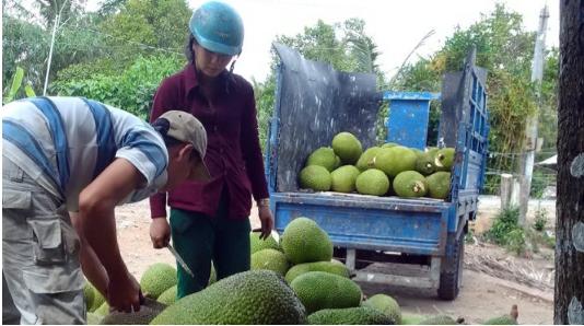 Giá mít Thái tăng gấp 10, nhà vườn đua trồng
