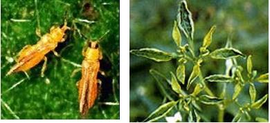 Quản lý một số sâu bệnh hại chính trên cây ớt