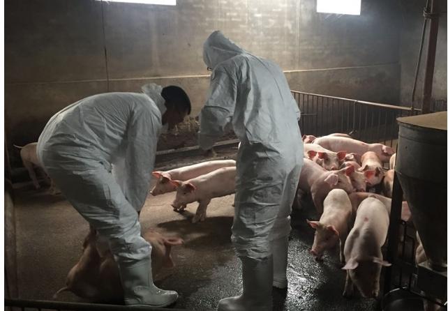 Một số đặc điểm nhận biết bệnh Dịch tả lợn châu Phi