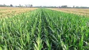 Trà Ôn: Mô hình trồng đậu nành, bắp nếp lợi nhuận 40 triệu đồng/ha