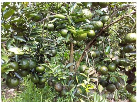 Tam Bình: xây dựng 28 mô hình liên kết sản xuất nông nghiệp năm 2019