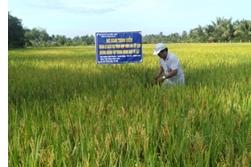Xuân Hiệp: Hiệu quả từ mô hình quản lý dịch hại tổng hợp trên lúa kết hợp xuống giống tập trung, đồng loạt né rầy vụ Thu Đông năm 2019