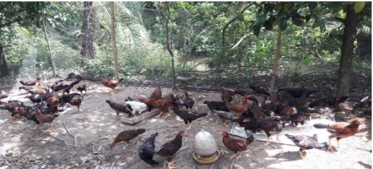 Hiệu quả mô hình chăn nuôi gà thả vườn an toàn sinh học
