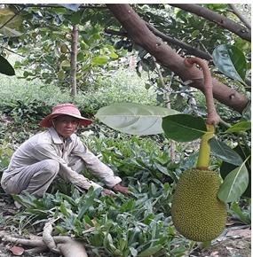 Hiệu quả từ mô hình trồng ngò gai xen vườn cây ăn trái