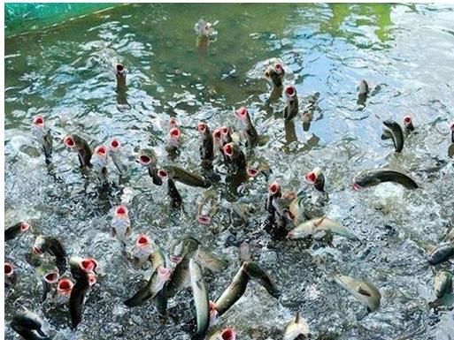 Cá lóc thương phẩm giá dao động từ 30-31 ngàn đồng/kg