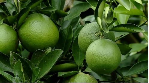 Bình Tân: giá cam đã tăng trở lại, nhà vườn phấn khởi