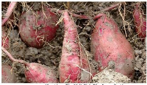 Bình Tân: Giá khoai lang tím nhật giảm chỉ còn trên 300.000 đồng/tạ