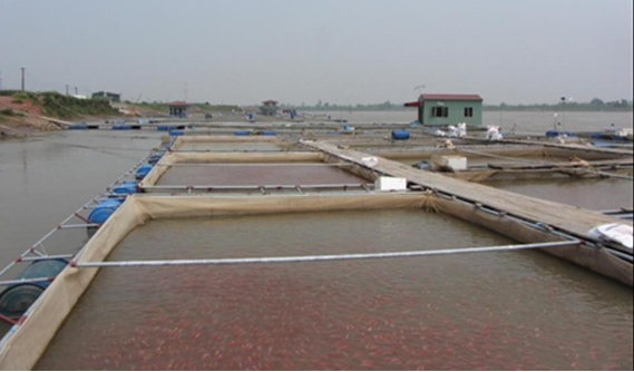 Kỹ thuật nuôi cá diêu hồng trong lồng bè trên sông và hồ chứa