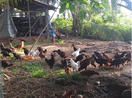 Nuôi gà thả vườn đem lại thu nhập cao bền vững.