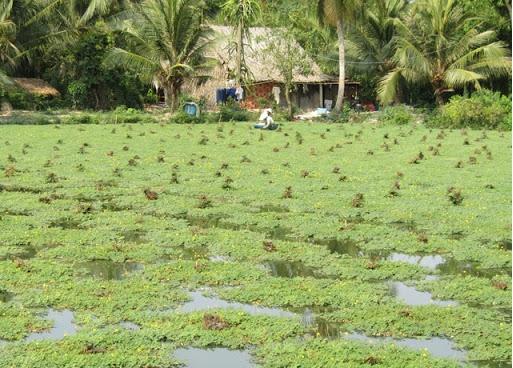 Nâng cao thu nhập nhờ trồng rau nhút trên đất ruộng