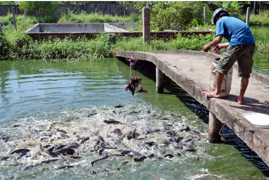 Ảnh hưởng của mực nước và thức ăn đến tăng trưởng của cá trê phi