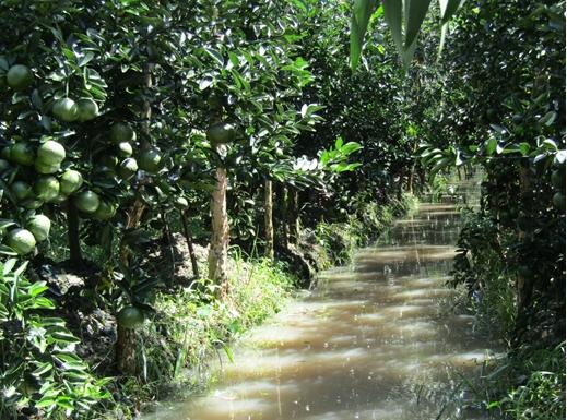 Trà Ôn - Cam sành chỉ còn 11.000 - 13.000 đồng/kg