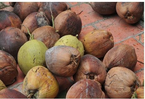 Bình Tân giá dừa khô 9.000 đồng/kg, dừa tươi 50.000 đồng 1 chục