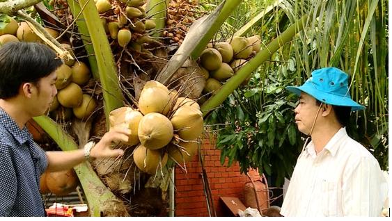Dừa xiêm tươi giá 6.000 đồng/trái người trồng thu lãi khá