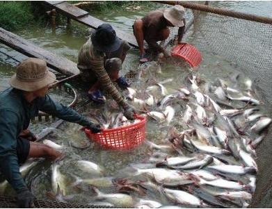 Bình Tân – giá cá tra tiếp tục giảm, nông dân lỗ nặng
