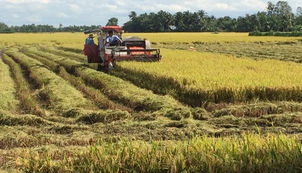 Giá lúa tăng cao nông dân phấn khởi