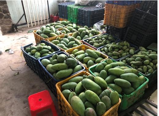 Xoài Đài Loan tăng giá 4-5 ngàn đồng/kg